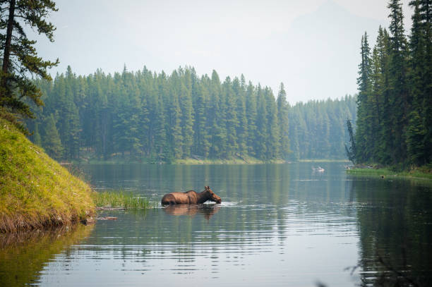 A moose swimming in a lake stock photo