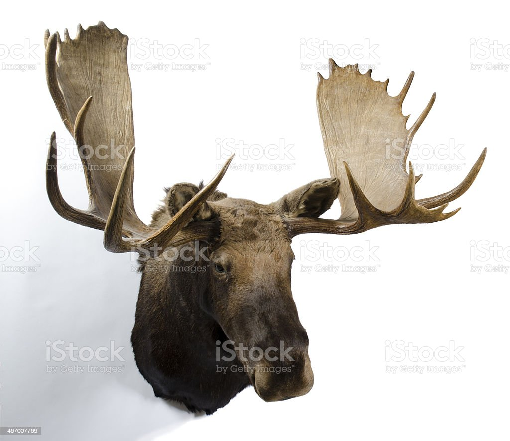 Moose Taxidemy Mount stock photo