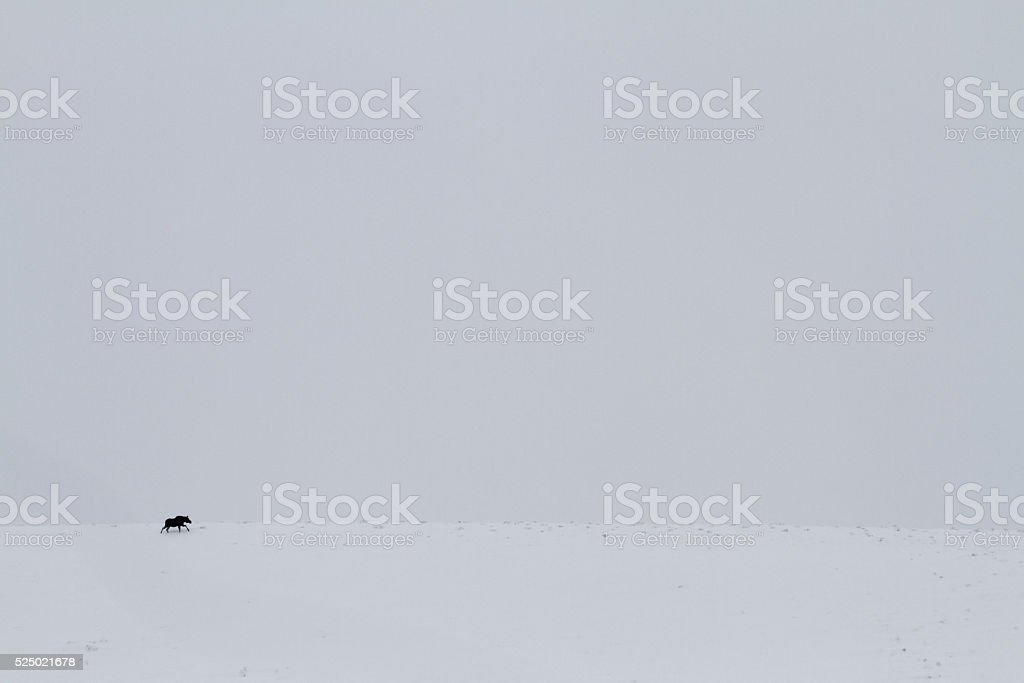Moose Traveling II stock photo