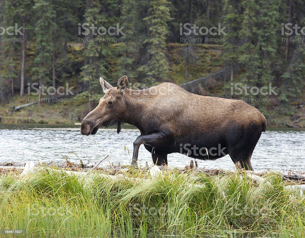 Moose wading in Horseshoe Lake at Denali National Park, Alaska stock photo