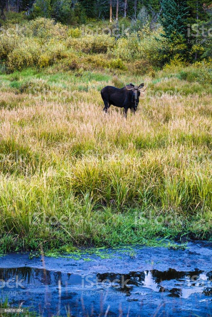 Moose Wildlife in Natural Mountain Meadow Habitat stock photo