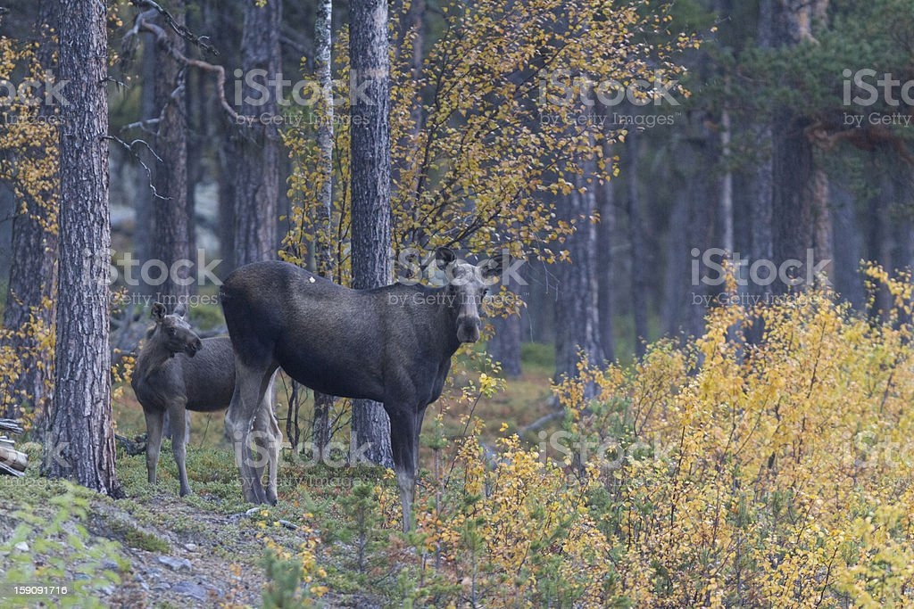 Moose with calf stock photo