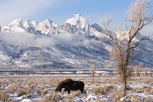 Moose with Teton Backdrop stock photo