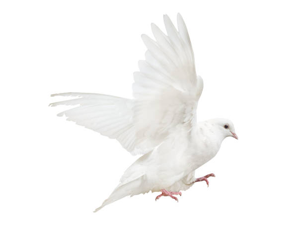 mooving isolated pure white dove stock photo