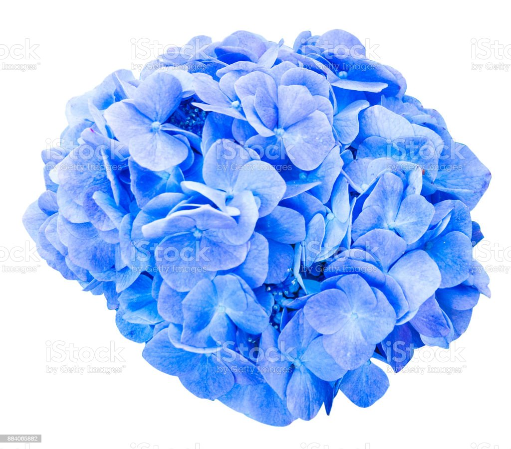 Mop head hydrangea flower isolated stock photo