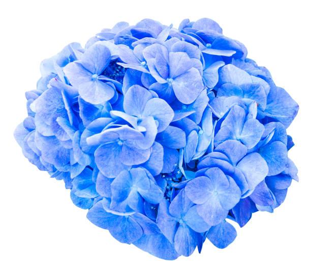mop head hydrangea flower isolated - hortensja zdjęcia i obrazy z banku zdjęć