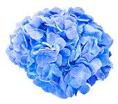 分離されたモップ頭のアジサイの花