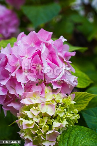 Pink Mophead Hydrangea  with green leaves
