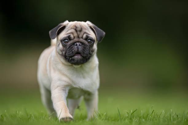 Mops dog stock photo