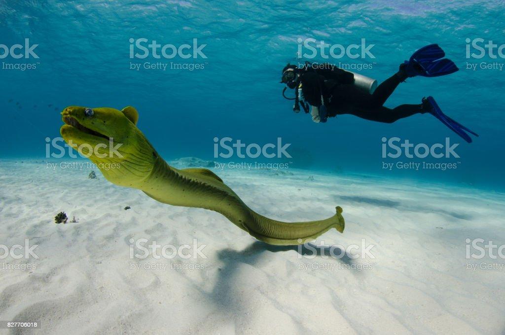 Murène et plongeur - Photo