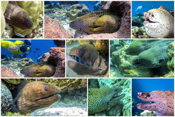 Moray Eel, coral - set - collage stock photo