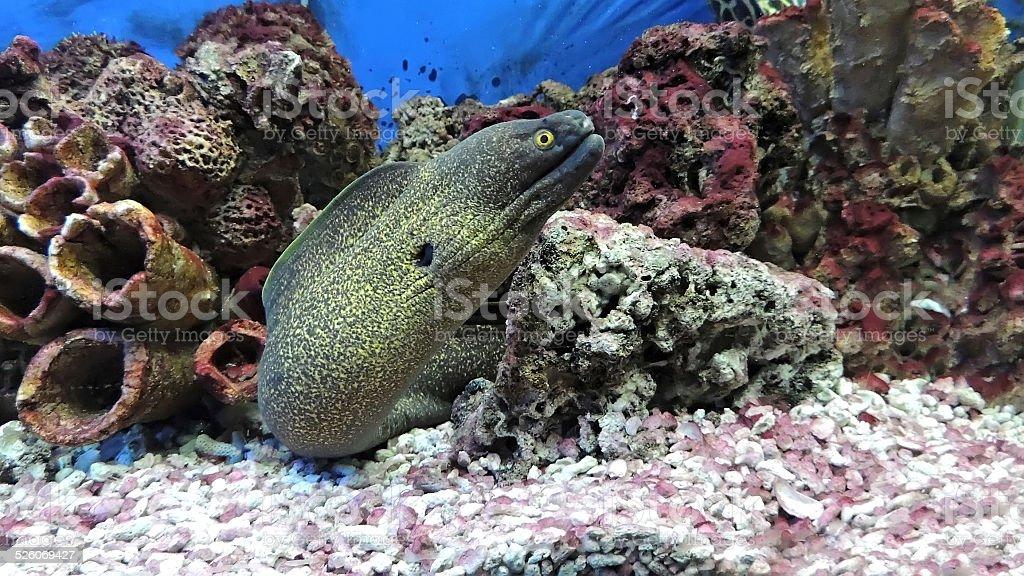 Murène poissons. - Photo