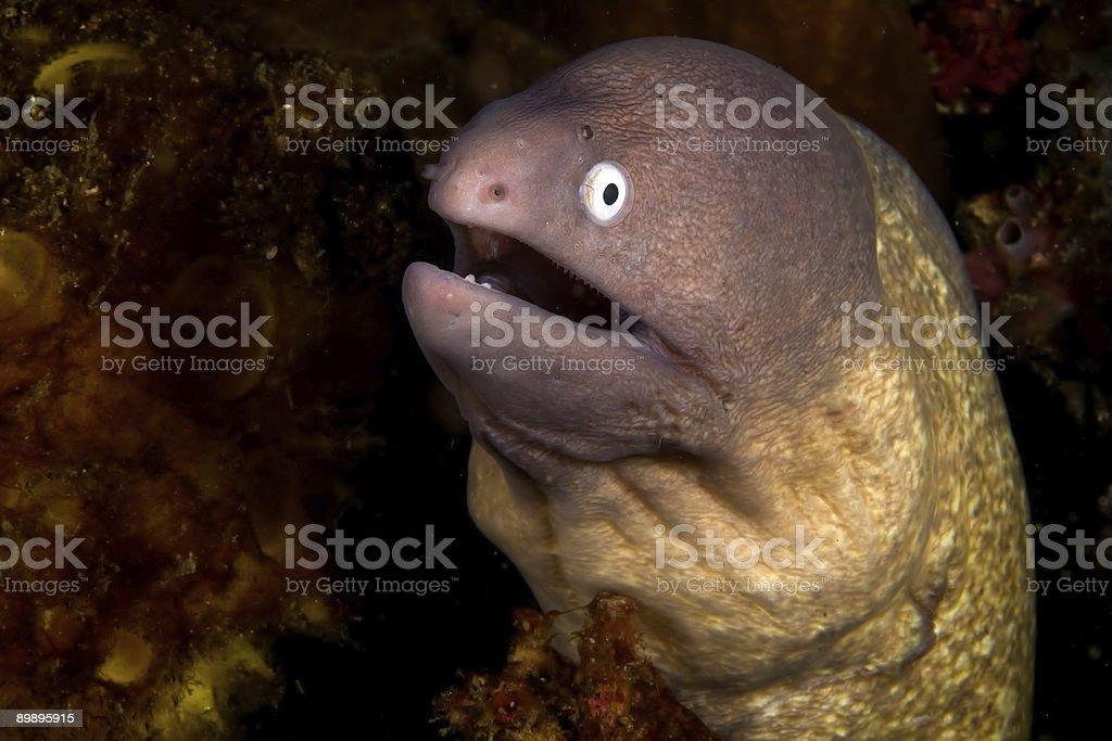 Morena eel foto de stock libre de derechos