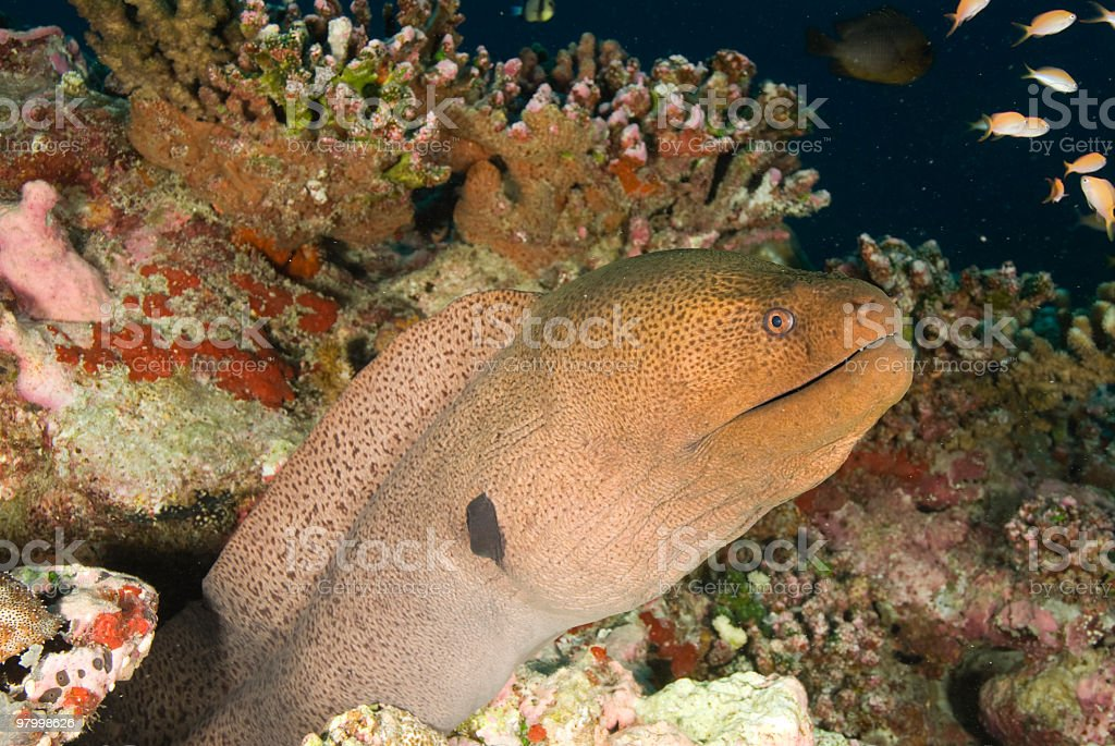 Moray eel royalty-free stock photo