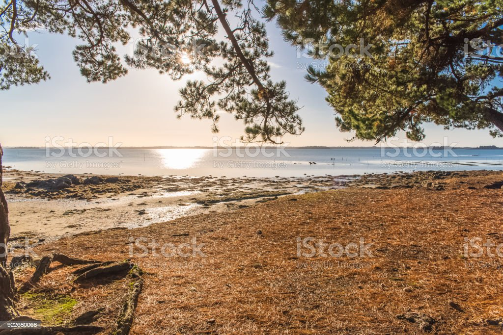 Morbihan gulf, in Brittany, pines forest stock photo