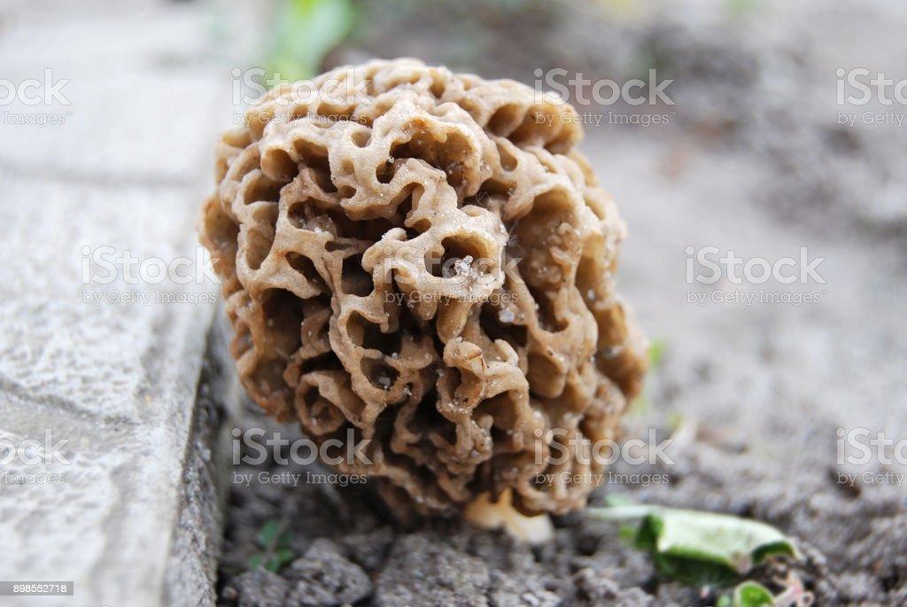 Morchella esculenta mushroom stock photo