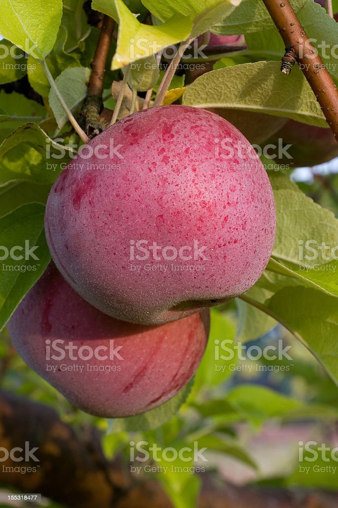 More Apples Covered in Morning Dew stock photo