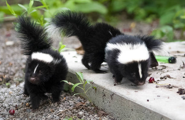 more baby skunks - skunk stock photos and pictures