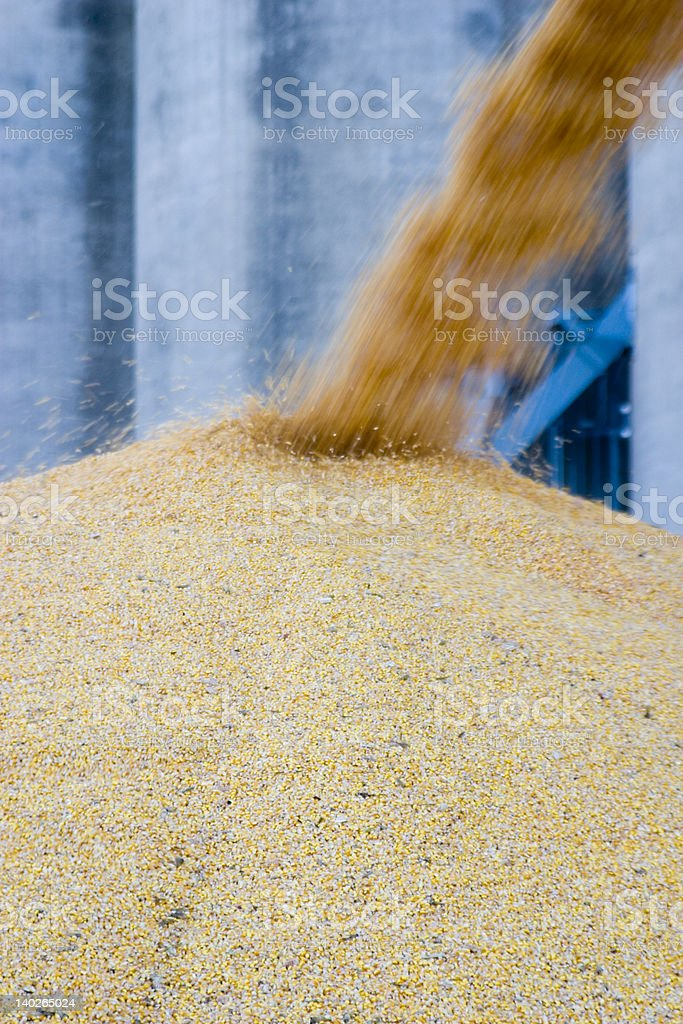 More Corn royalty-free stock photo