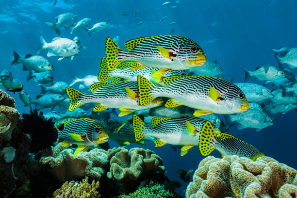 More Fish than Water, Diagonal-banded Sweetlips, Raja Ampat, Indonesia stock photo