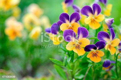 Adorable violets called