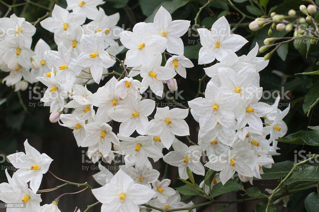 Solanum Jasminoides Album White Flowering Potato Vine Stock Photo