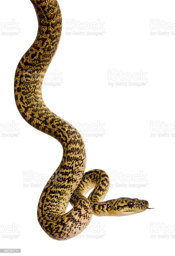 Morelia spilota variegata, a subspecies of python, against white background stock photo