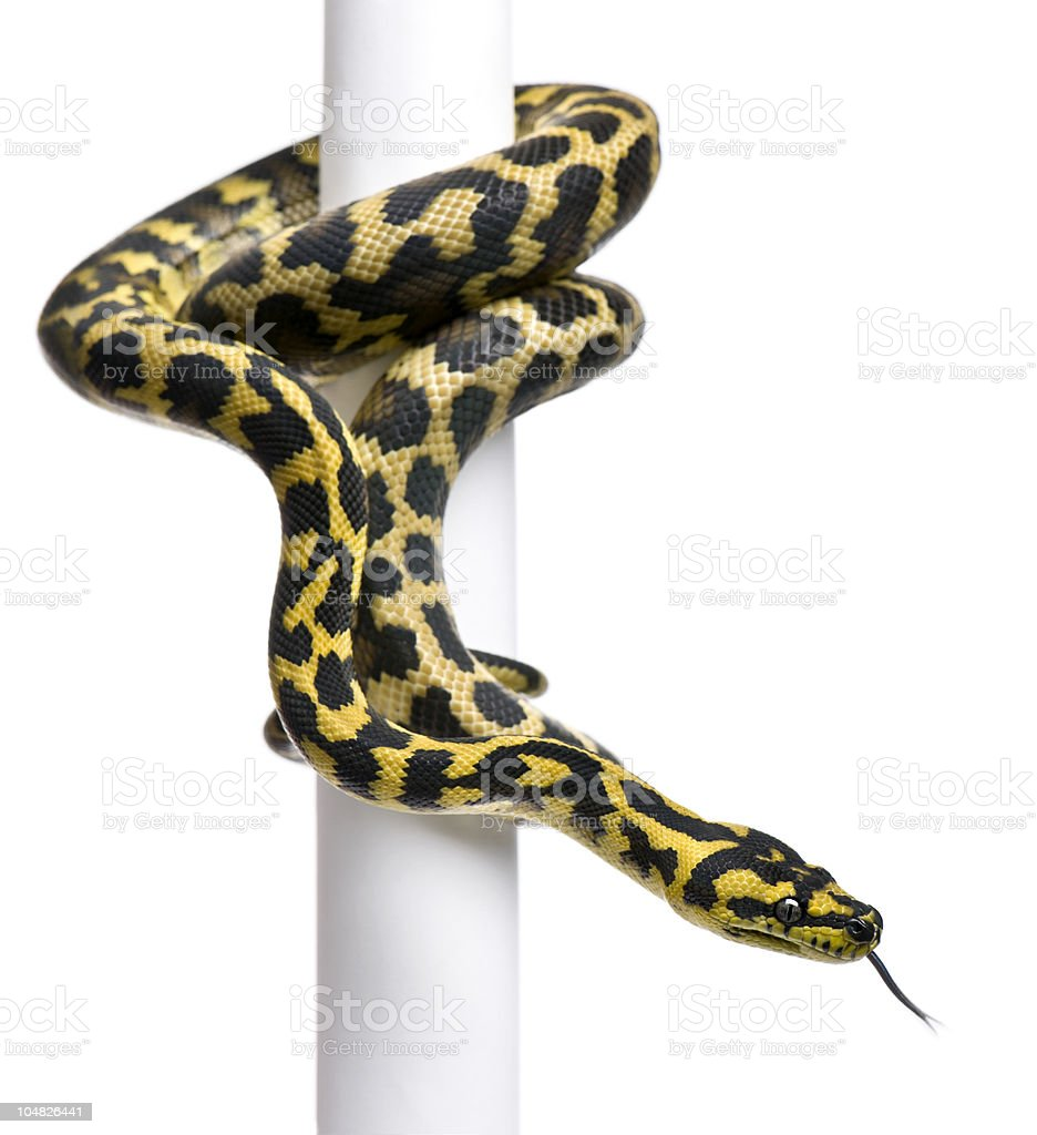 Morelia spilota variegata python, 1 year old, on pole. stock photo