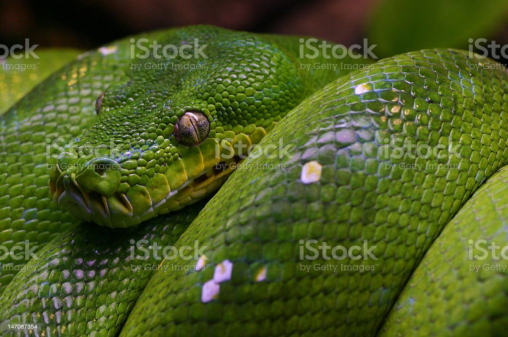 Morelia viridis, green tree python stock photo