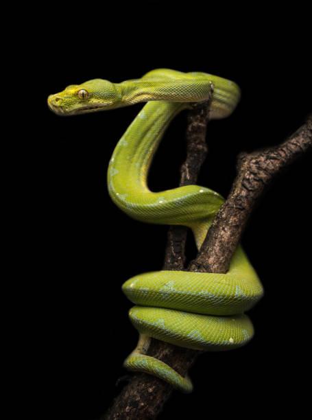 モレリア viridis - ヘビ ストックフォトと画像