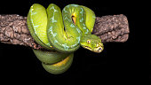 The green tree python (Morelia viridis) is a species of python native to New Guinea, islands in Indonesia, and Cape York Peninsula in Australia. Described by Hermann Schlegel in 1872, it was known for many years as Chondropython viridis. As its name suggests, it is a bright green snake that can reach 2 metres in length and 1.6 kg in weight, with females slightly larger and heavier than males.
