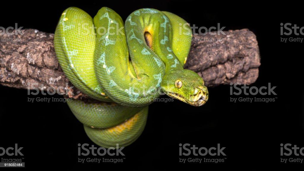 Morelia viridis stock photo