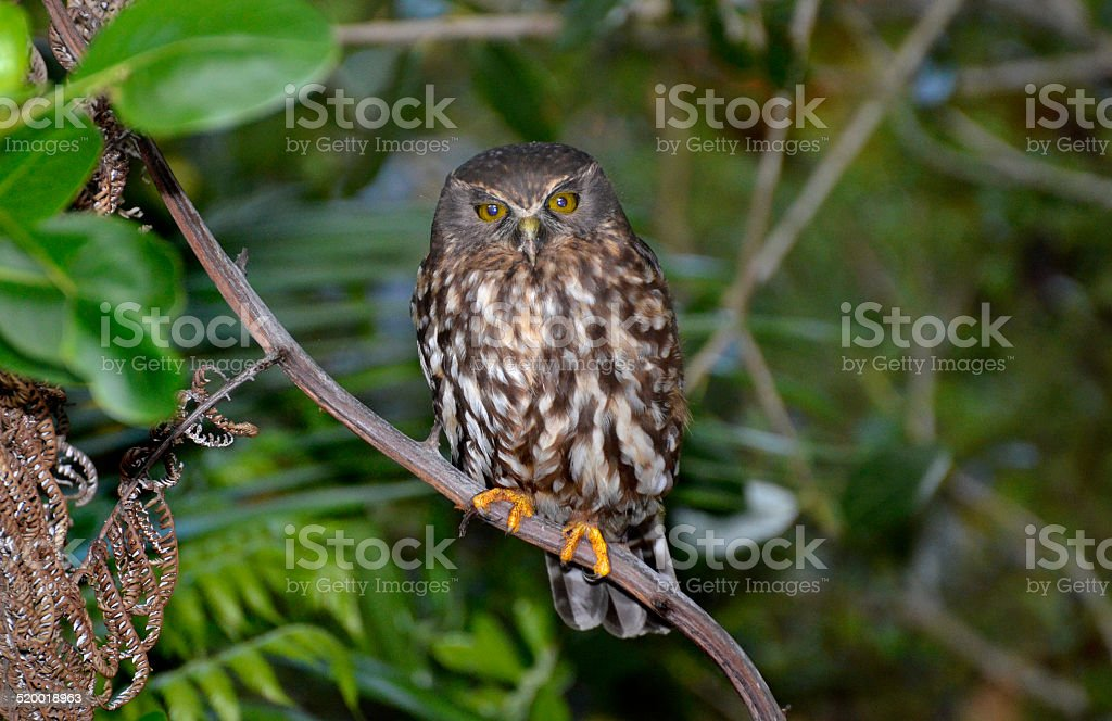 Morepork, spotted owl, New Zealand stock photo
