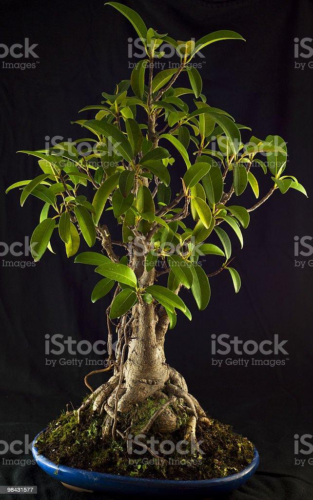 Fico della Baia di Moreton Bonsai completo foto stock royalty-free