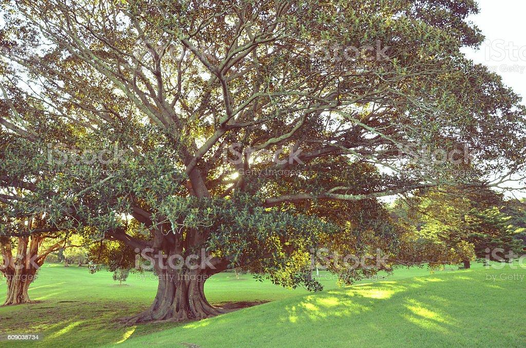 Moreton Bay Fig Tree in golden sunlight stock photo