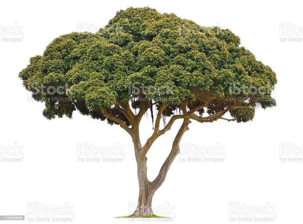 Moreton Bay Fig Tree Isolated On WHite Background stock photo