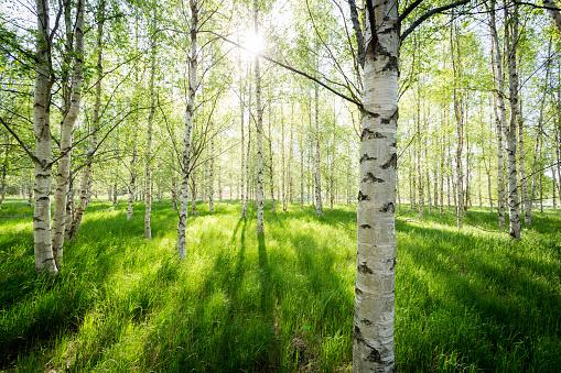 stämningsfull bild med morgonljus genom björkskog en vår i Sverige