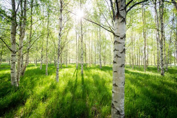 morgonljus genom björkstammarna - deciduous stock pictures, royalty-free photos & images