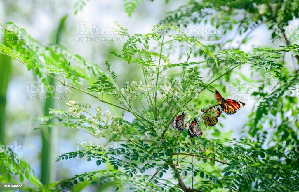Moringa oleifera Lam with butterfly stock photo