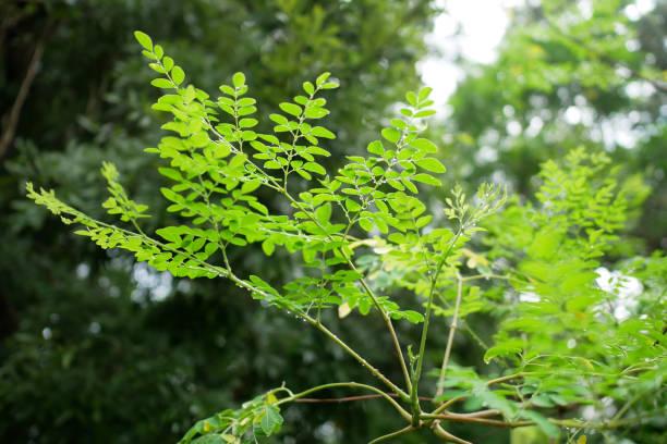 Moringa Oleifera, Moringa bladeren op boom. foto