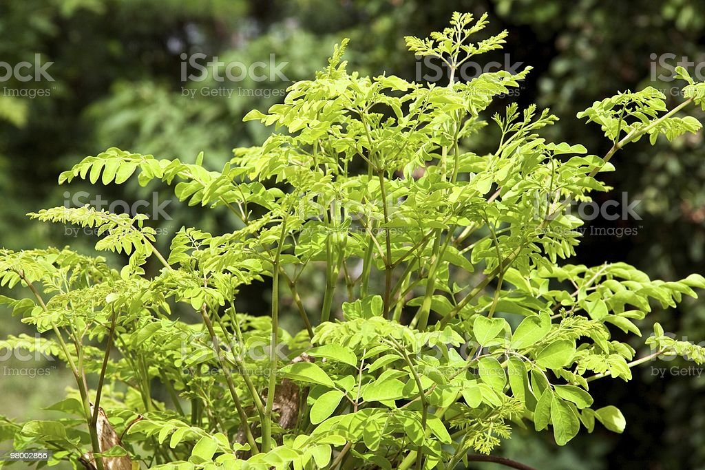 Moringa oleifera (the tree of life) royalty free stockfoto