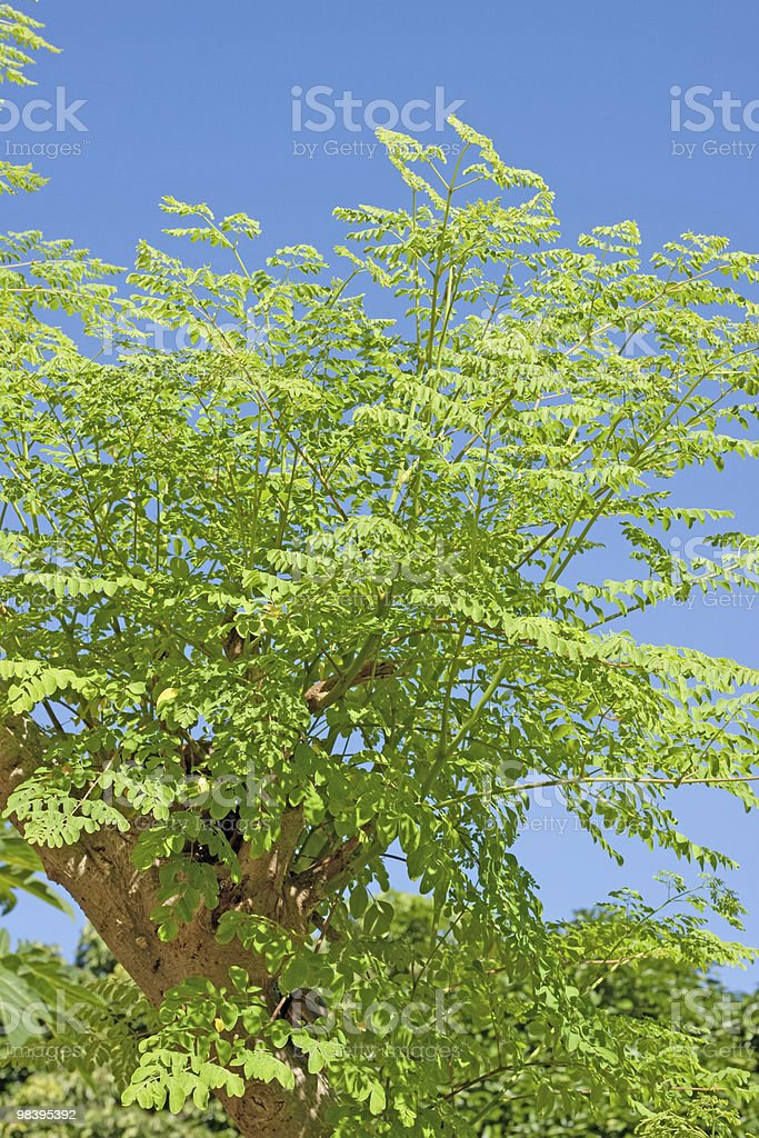 Moringa oleifera (the tree of life) royalty-free stock photo