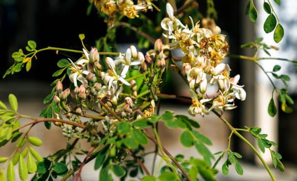 Moringa Tree Blooms stock photo