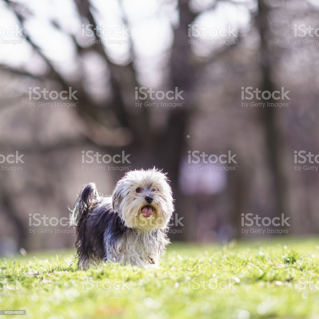 Morkie Dog Maltese Yorkie Mix Stock Photo More Pictures Of Animal