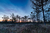pure nature, high resolution photo, sunset in the bog, amazing nature, wonderful nature, Bog landscape with pines