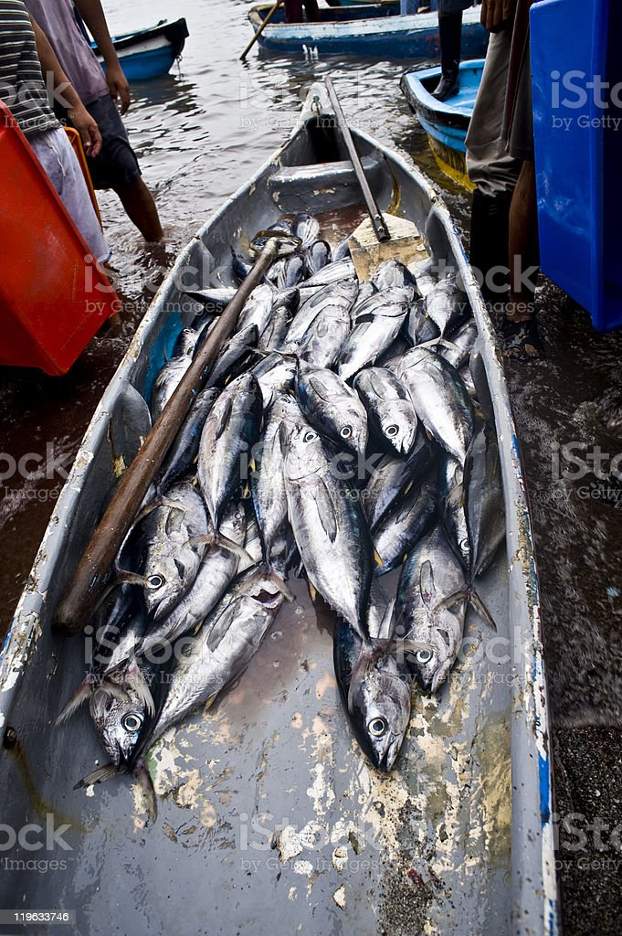 Morning catch albacore for sale royalty-free stock photo