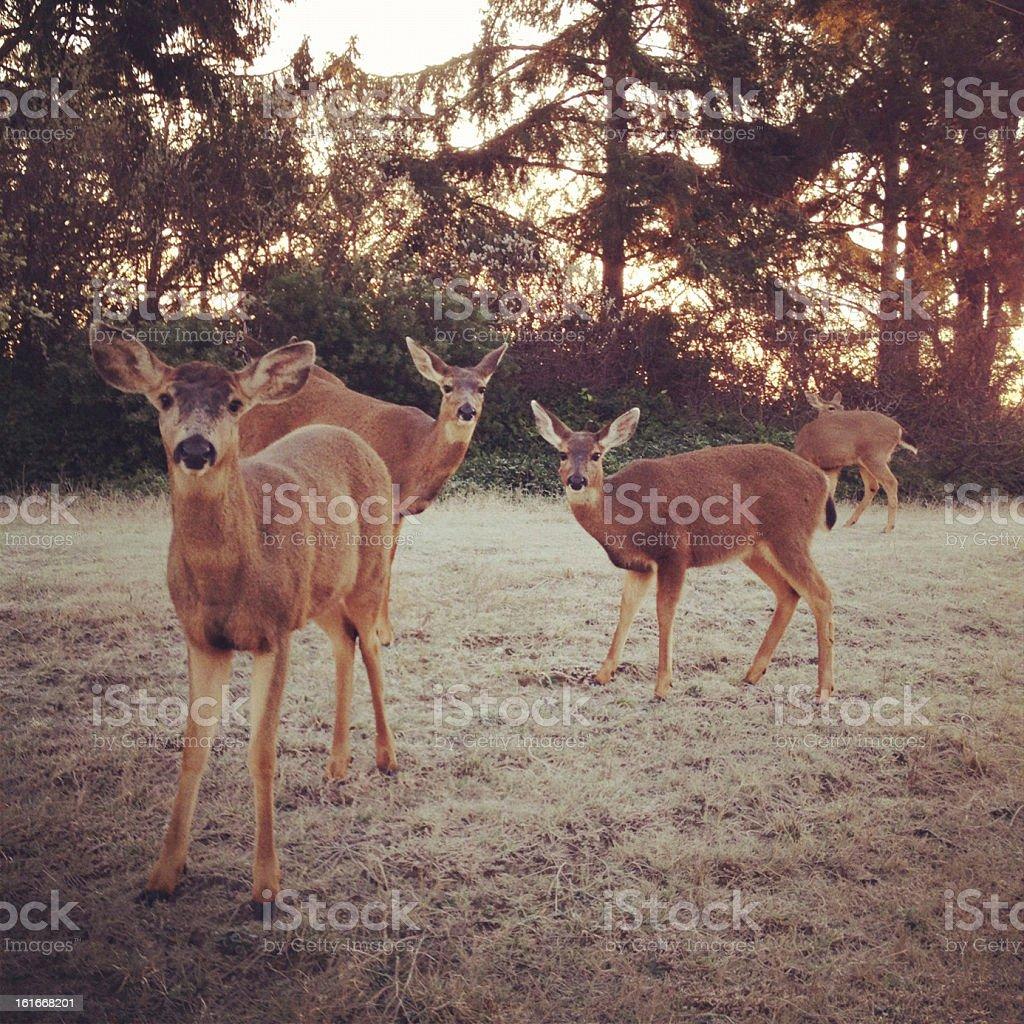 Morning Deer stock photo