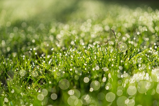 Morning dew droplets on grass.