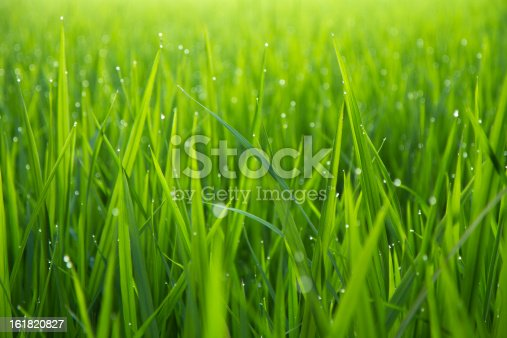 Green grass leafs with dew drops in the morning sunlight.