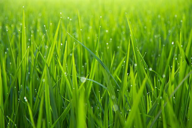 morning dew gocce su verde leafs - filo d'erba foto e immagini stock